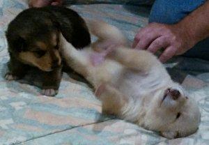 Puppy Cuteness Tummy Rub Time